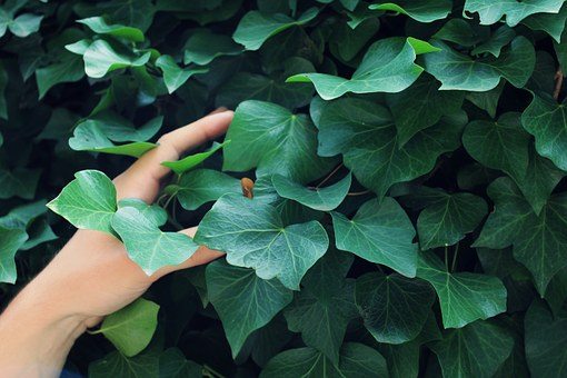 Ivy, Green, Hand, Human, Arm, Fingers, Plant, Nature