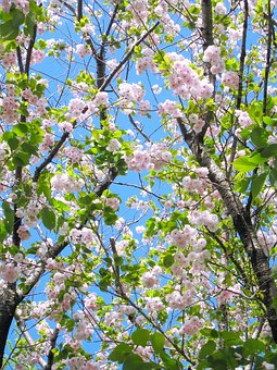 Double Cherry Blossoms, Pink, Green, Leaf, Branch