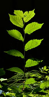 Leaves, Young Drove, Forest, Back Light, Young Tree