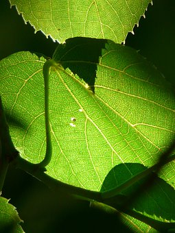 Leaf Veins, Linde, Tree, Veins, Shine Through, Leaves