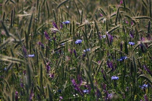Meadow, Grain, Cornflowers, Nature, Mood, Summer