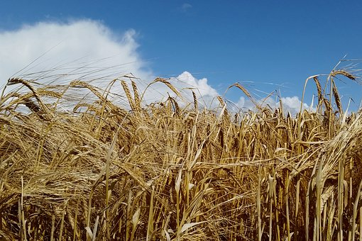 Corn, Summer, Agriculture, Field, Nature, Harvest, Sky