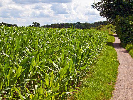 Field, Arable, Green, Corn, Cereals, Landscape, Nature