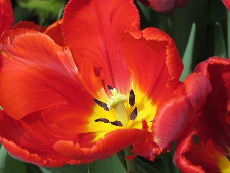 Red Tulip, Tulip Show, Nature, Gardens, Parks