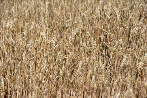 Cereals, Barley, Spike, Field, Nourishing Barley