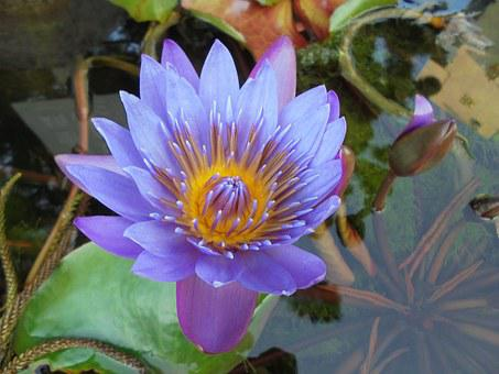 Purple, Nymphaea Alba, Plant, Pond, Lotus