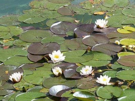 Water Lily, Nymphaea, Floating Leaves, Plant, Lake Rose
