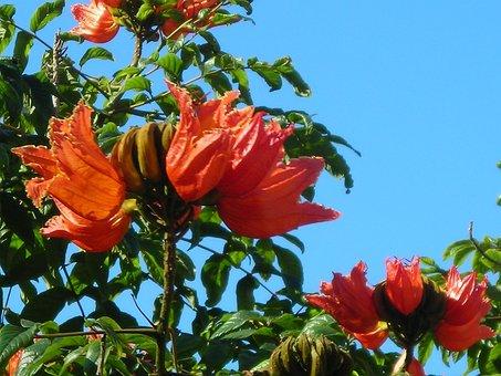African, Tulip Tree, Flowers, Tree, Orange Red, Bright