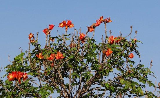 African Tulip, Flower, Tree, Red, Nrupatunga Betta