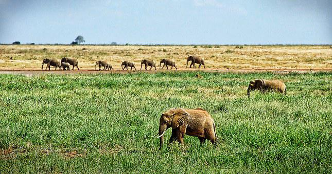Elephant, Herd Of Elephants, Savannah, Safari