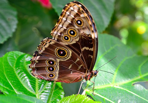 Butterfly, Brown, Spots, Spotted, Macro, Close Up