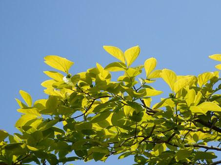 Young Leaves, Spring, Persimmon, Oyster, Blue Sky