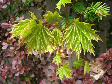 Spring, Young Maple Leaves, Development