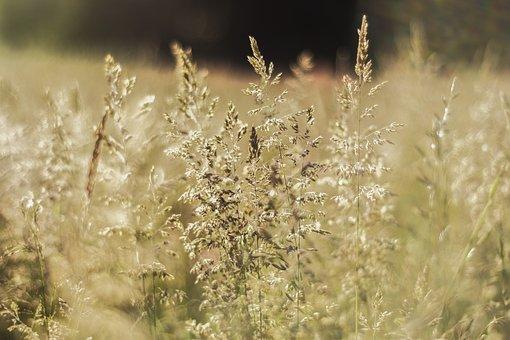 Nature, Corn, Plants, Summer, Field, Landscape, Meadow