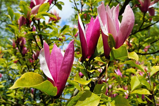 Flowers, Tulip Tree, Purple, African Tulpenbaum