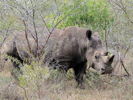 Rhino, Animal, Wild, Africa, Wildlife, Mammal