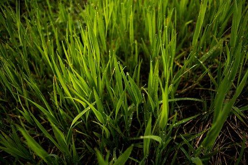 Grass, Field, Blades, Spring, Yard, Lawn, Backyard
