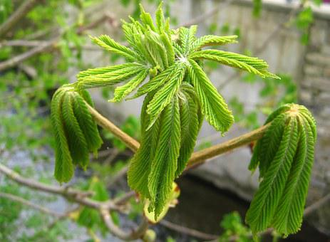 Young Chestnut Leaves, Development, Spring Awakening