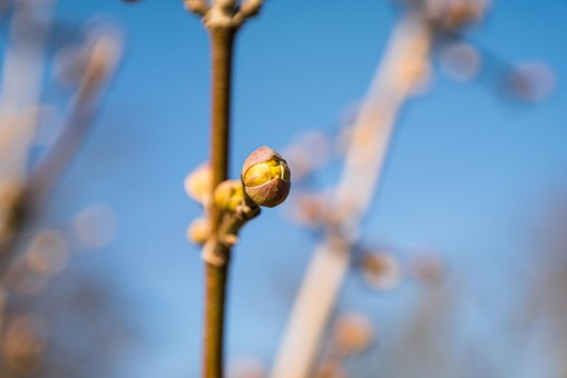 Bud, Spring, Cornel, Flower Bud, Branch, Fresh, Young
