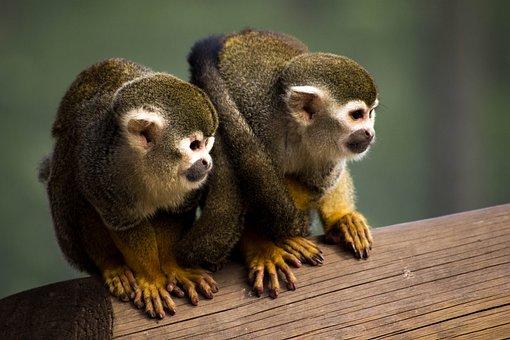 Squirrel Monkey, Animal, Zoo, Monkey, Squirrel, Cute