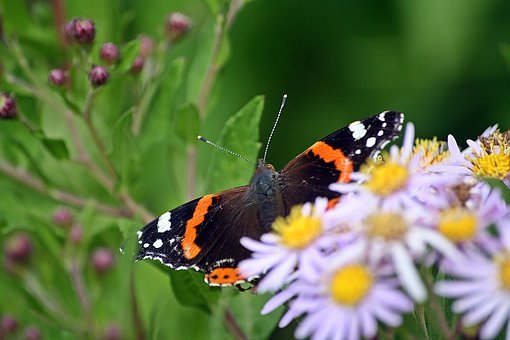 Butterfly, Insect, Animal, Flowers, Hidden