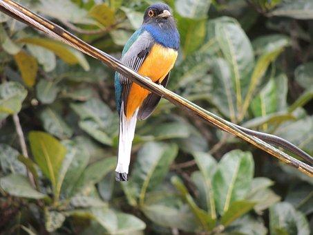 Surucuá, Brazilian Bird, Brazil
