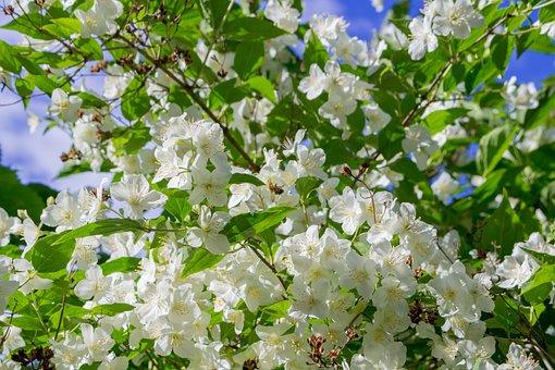 Jasmine, The Bushes, Summer, Nature, Bright, Sun, White