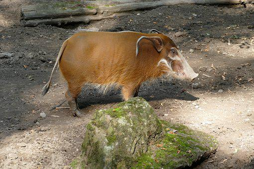 Brush Ear Pig, Pig, Ear, Zoo, Animal