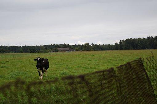 Cow, Farm, Village, Rural, Wire Fence, Field, Meadow