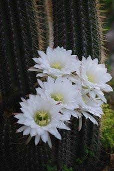 Cactus, Flower, White Flower, Flowering Cactus