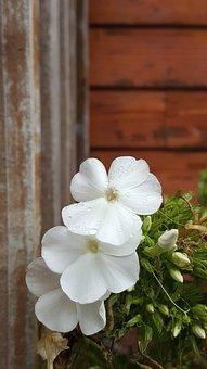 Blossom, White Phlox, Raindrops, Bloom, Flowers, Petals