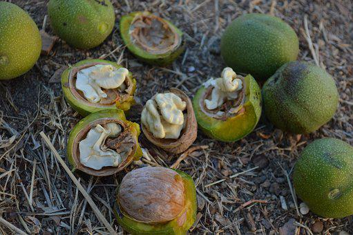 Yesil Walnut, Fresh Walnuts, Walnut