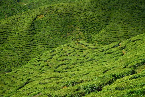 Tea, Garden, The Tea Plantations, Background, Landscape
