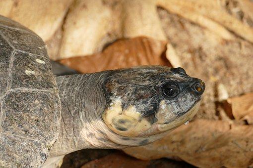 Turtle, Terekay-turtle, Head, Panzer, Zoo, Animal