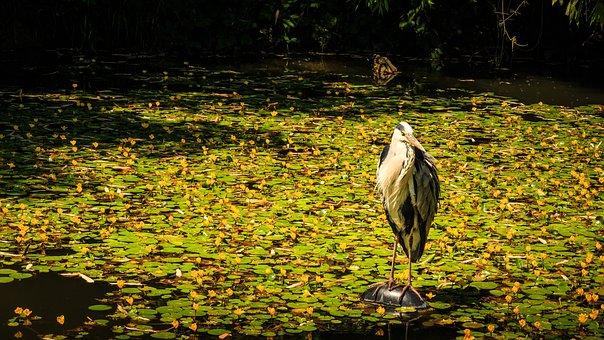 Grey Heron, Pond, Heron, Eastern, Water Bird