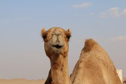 Camel, Desert, Sand, Dubai, Dune, Sky, Clouds, Hill