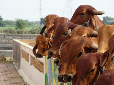 Cow, Indian, Holy Cow, Hinduism, Hindu, Religion, Milk