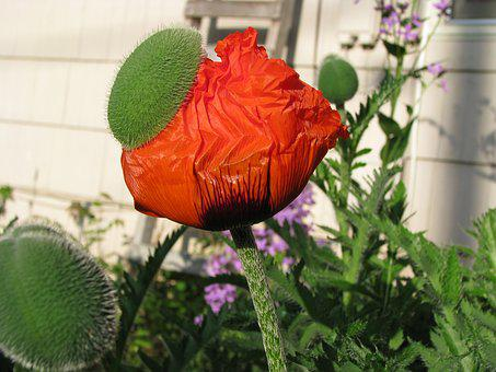 Poppy, Blooming, Flower, Nature, Red, Garden, Colorful