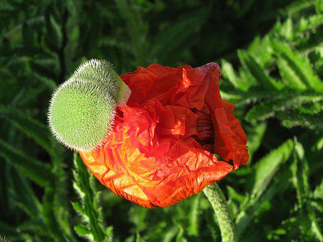 Poppy, Blooming, Flower, Nature, Red, Colorful, Garden