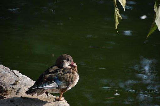 Birds, Brazilian Teal, Still, Close-up, Profile