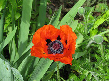 Poppy, Bloom, Flower, Red, Nature, Orange, Purple