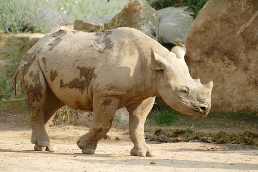 Rhino, Zoo, Animal, Young Animal, Pachyderm
