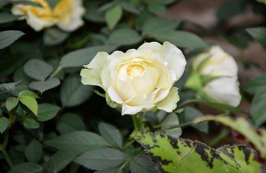 White Rose, Rosebush, Spicy, Nature, Flowering, Petals
