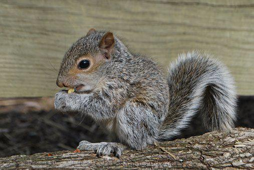 Squirrel, Squirrel Eating, Wildlife, Rodent, Nature