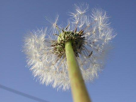 Dandelion, Seeds, Close, Macro, Taraxacum, Blossom