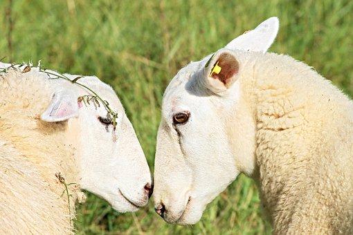 Sheep, Two Sheep, Love, Snuggle, Friendship, Fur