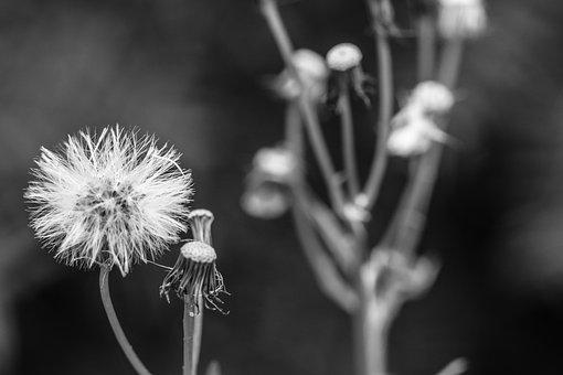 Dandelion, Autumn, Fall, Wild Flower, Black And White
