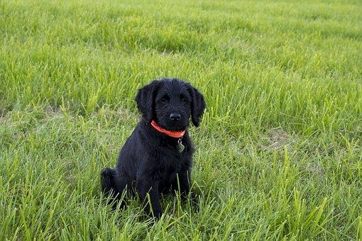 Labradoodle, Labrador, King Poodle, Dog, Puppy, Baby