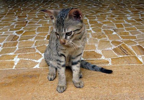 Bengal Cat, Kitten, Domestic Cat, Breed, Bengal, Hybrid