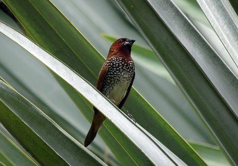 Spotted Munia, Bird, Scaly-breasted Munia, Avian